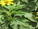 Mexican sunflower / Tree marigold