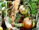 Late blight on tomatoes