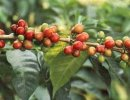 Coffee plant (Coffea arabica) with healthy berries.