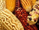 Varieties of maize