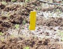 Homemade yellow sticky trap in a tomato field.