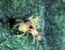 Two-spotted spider mite (Tetranychus urticae)