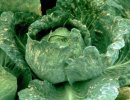 turnip mosaic virus