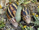 The Giant African Snail (Achatina fulica). Adults of the species may exceed 20 cm in shell length but generally average about 5 to 10cm